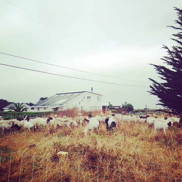 "Coastal veg manangement and cleanup crew in Half Moon Bay, CA.  The local land trust organizes a ""adopt a goat"" fundraiser within the neighborhood to collectively pay for grazing services of sheep and goats every summer. Evaluation of the the areas to be grazed are first assessed to be sure the area does not have signs of ground nesting snakes which are protected in the area. . . Ecological care and habitat sensitive practices are key to mindful managed grazing. Graziers as ""ecological doctors"" as well as skilled and sensitive livestock stewards, go, go, go!! . . #workinggoats #targetedgrazing #newpastoralism #newwavegraziers  #grazingschoolofthewest #pastoralismprevailing #starcreeklandstewards #iamamodernfarmer #goatlife"