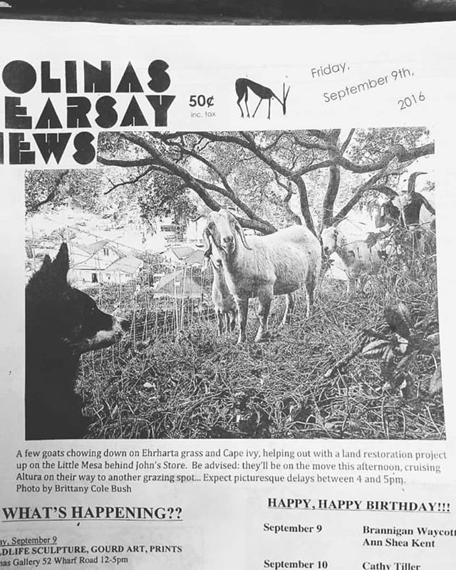 "🌾✨Almost two years to the day, working goats made it to the front page of this small coastal community's news paper notifying its neighbors of the potential ""goat traffic"" in town. ✨🌾The paper also shared about the land stewardship efforts using grazing as a tool to reduce an invasive grass species that was chocking out desireable natives on a long-term land restoration project. . This small herd of twelve Spanish/Boer goats worked several properties in town that summer, herded between job to job with the help of young and old residents of the town. They were efficient goats clearing 1/4 acre lots in one day and night. Not only were they successful in plowing down the poison oak and blackberry thatch walls on several properties, they made for an exciting time for town, traffic and all. . These small community herds which come and go seasonally could be the ticket. How can this model replicate? Is it viable? Who are the project managers, shepherds, herders, tenders? . Head over to our facebook group page to share with us your experience with herds in your neighborhood, town or city. How are other folks using prescribed grazing as a service around the country? (Link to group in bio) . #neighborhoodgoats #goats #targetedgrazing #workinggoats #vegetationmanagement #grazingschoolofthewest #pastoralismprevailing #newpastoralism"