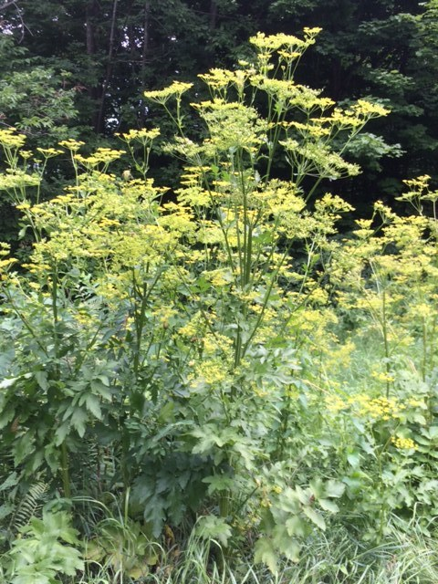 THE SCARY POISON PARSNIP