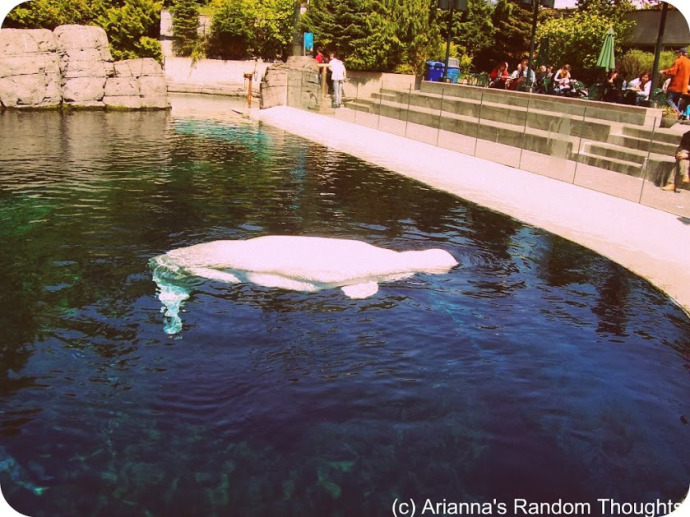 A beluga whale at the Vancouver Aquarium, July 2006.  These whales have a special place in my heart.