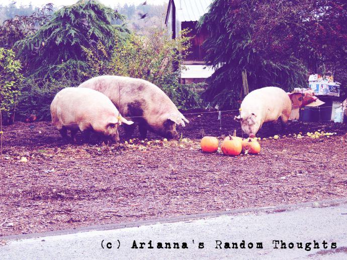 Pigs I saw on my walk.