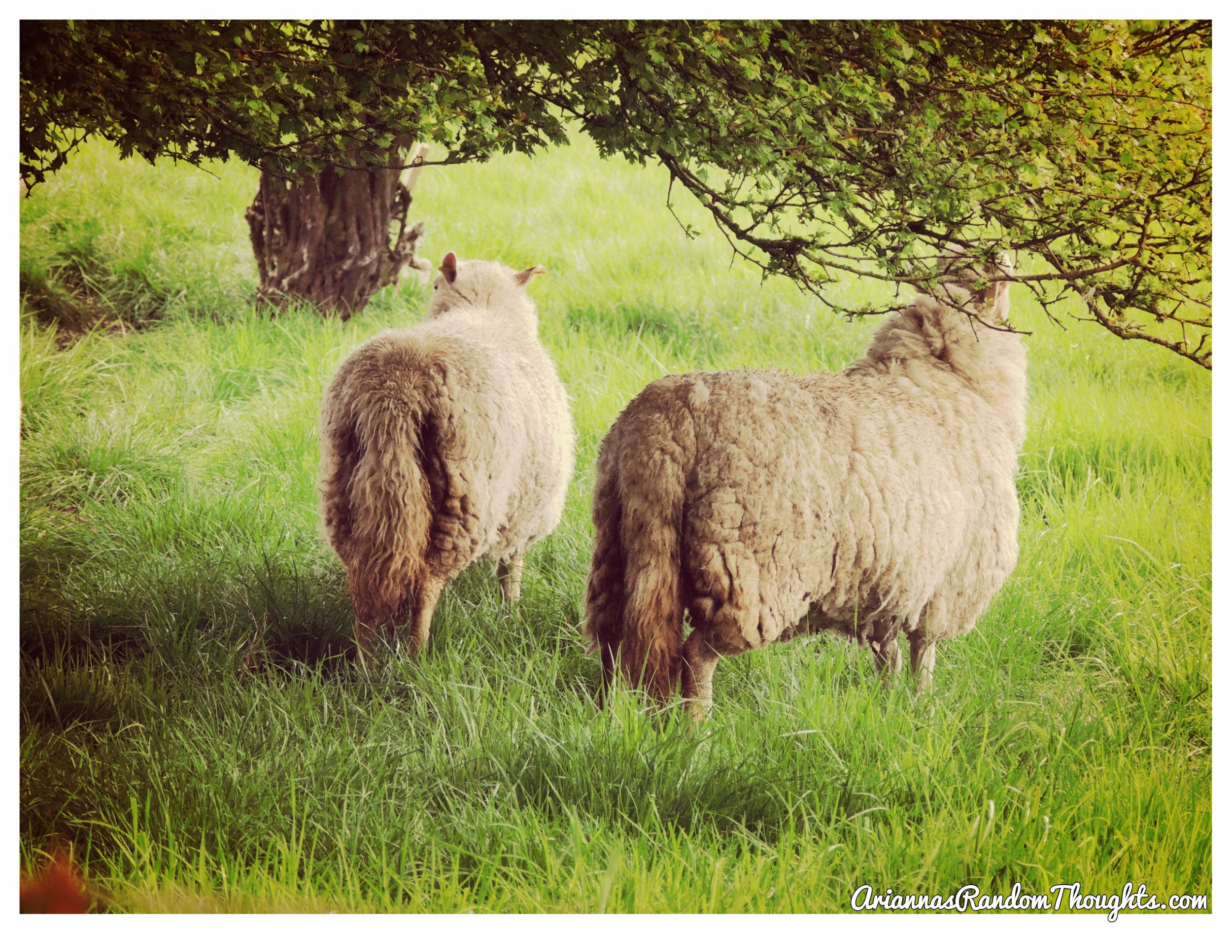 BeFunky_sheep picture.jpg