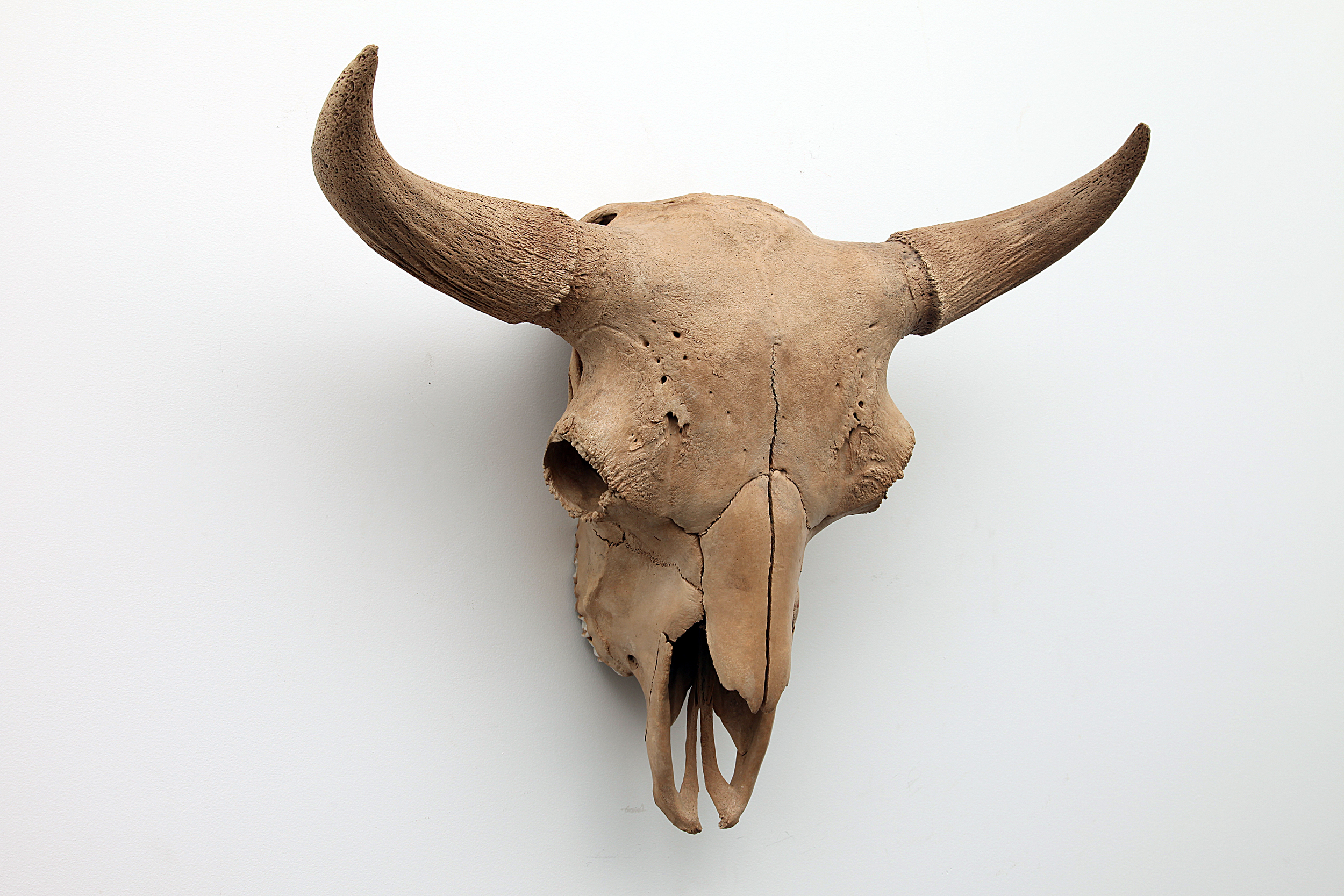 Rare, Intact Extinct Bison Occidentalis Skull