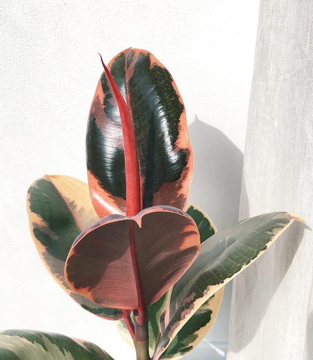 New leaf about to hatch! #ficuselasticavariegata