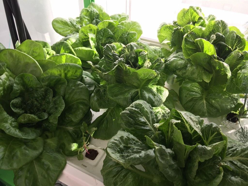 cityfarm lettuce.jpg