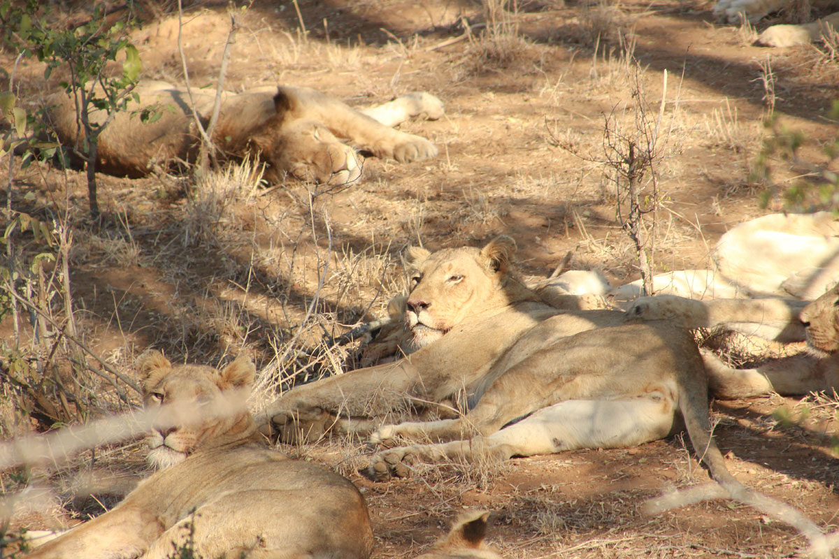 Why_Visit_the_kruger_national_park_in_south_africa_lazy_lions.jpg