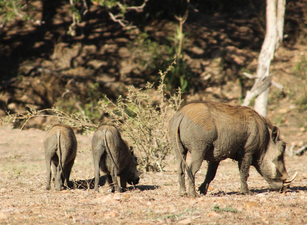 Why_Visit_the_kruger_national_park_in_south_africa_warthog.jpg