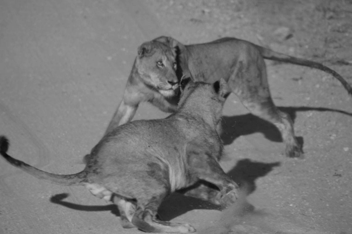 Why_Visit_the_kruger_national_park_in_south_africa_lion_chase_activities.jpg