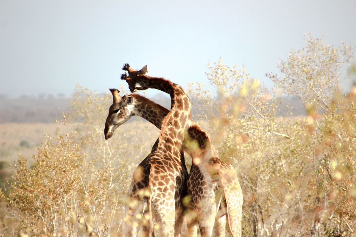 Why_Visit_the_kruger_national_park_in_south_africa_giraffe_fighting.jpg