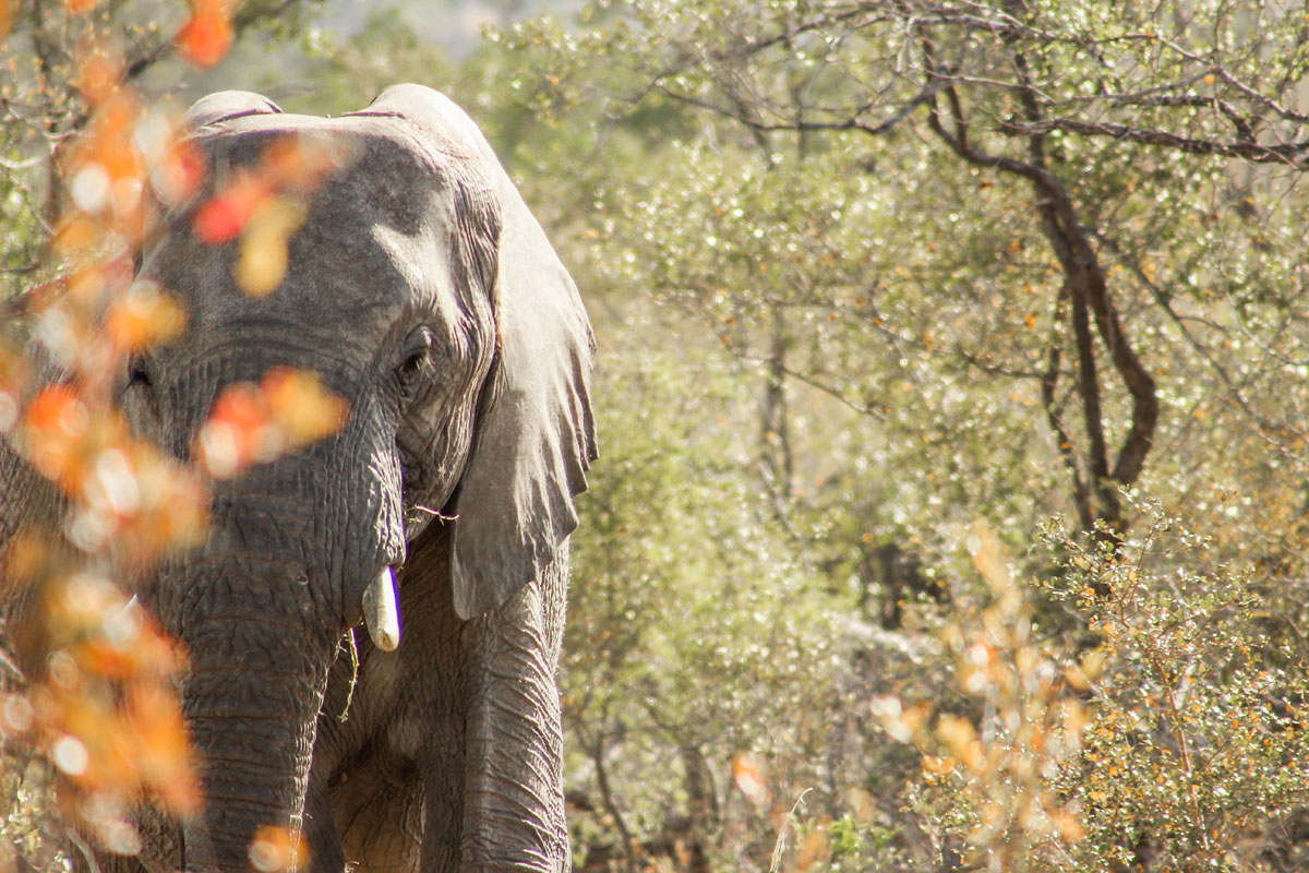 Why_Visit_the_kruger_national_park_in_south_africa_elephant.jpg