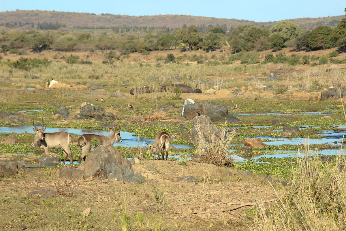 Why_Visit_the_kruger_national_park_in_south_africa_water_buck.jpg