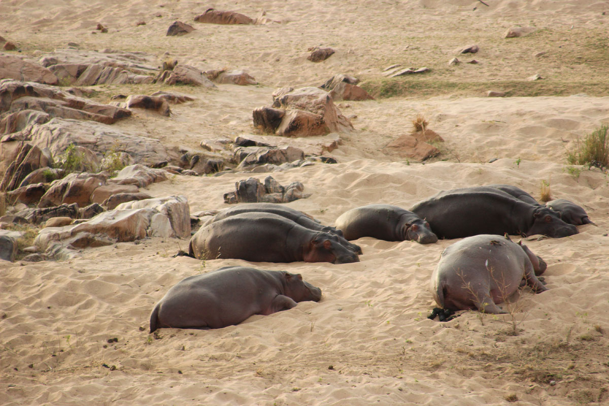 Why_Visit_the_kruger_national_park_in_south_africa_hippo.jpg