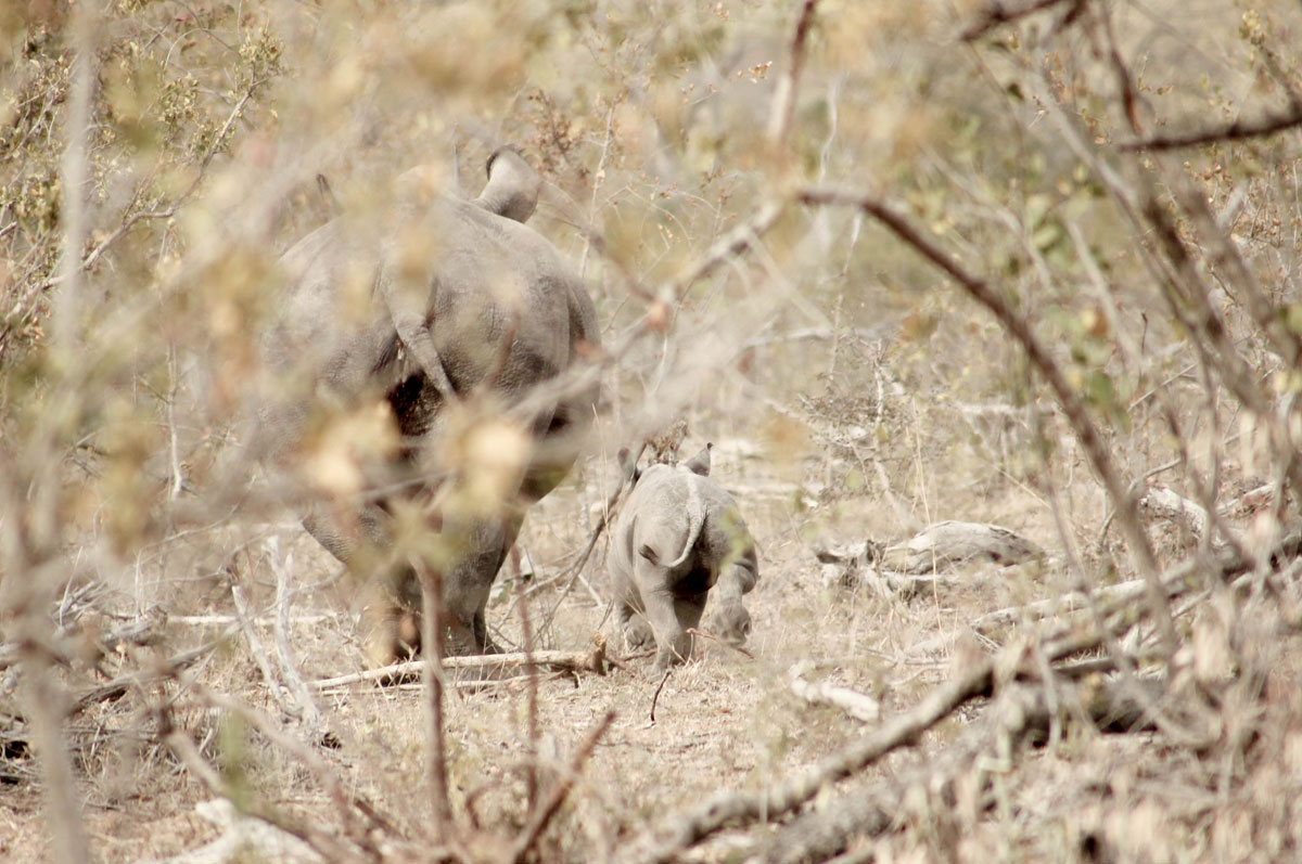 Why_Visit_the_kruger_national_park_in_south_africa_baby_rhino_with_mom.jpg
