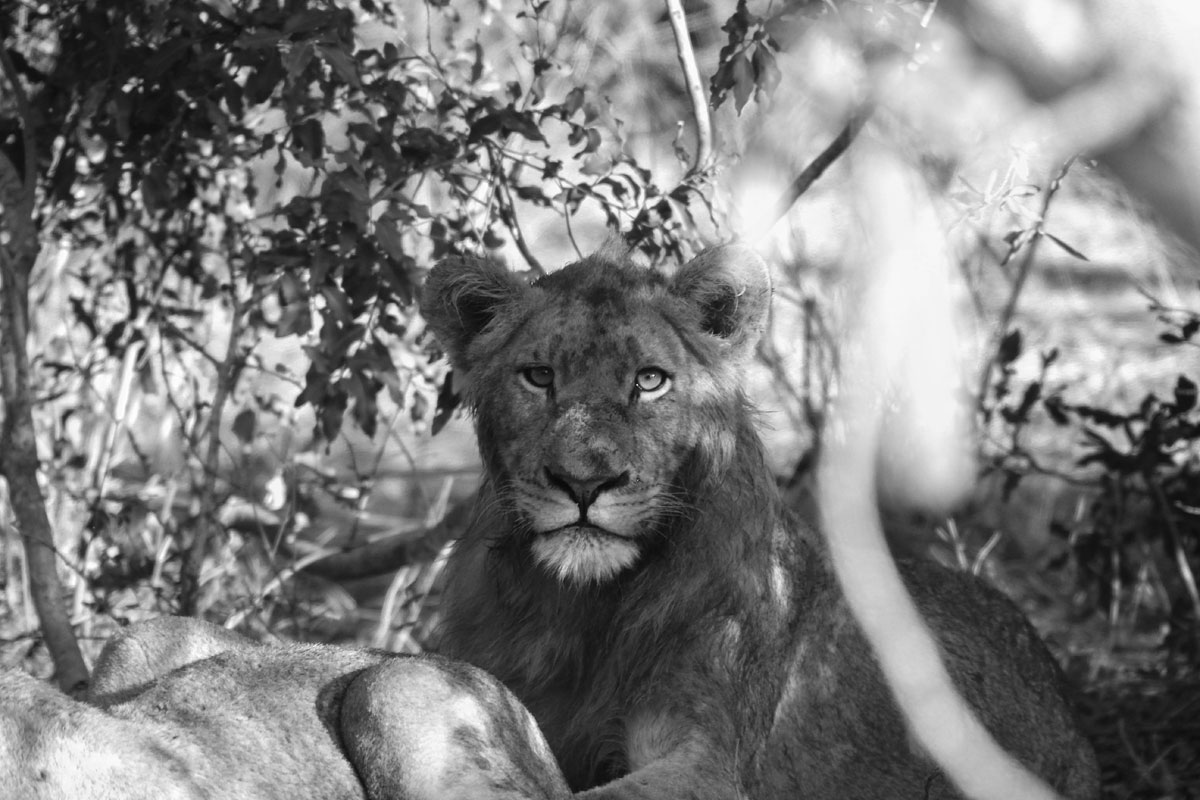 Why_Visit_the_kruger_national_park_in_south_africa_lioness.jpg