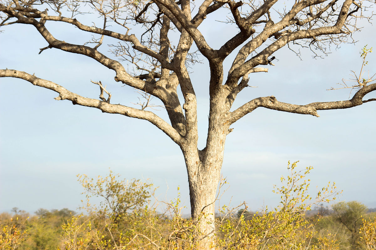 Why_Visit_the_kruger_national_park_in_south_africa_tree.jpg