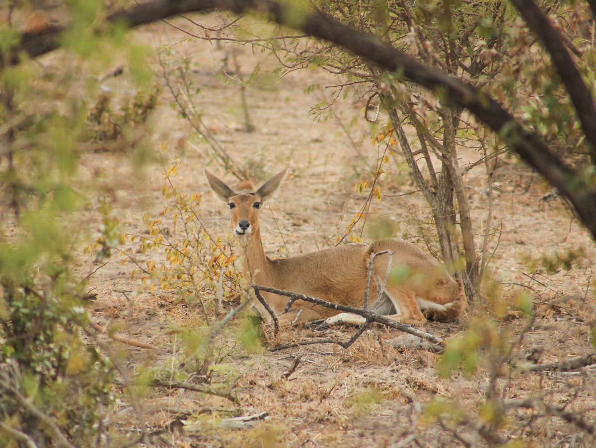 Why_Visit_the_kruger_national_park_in_south_africa_buck_1.jpg