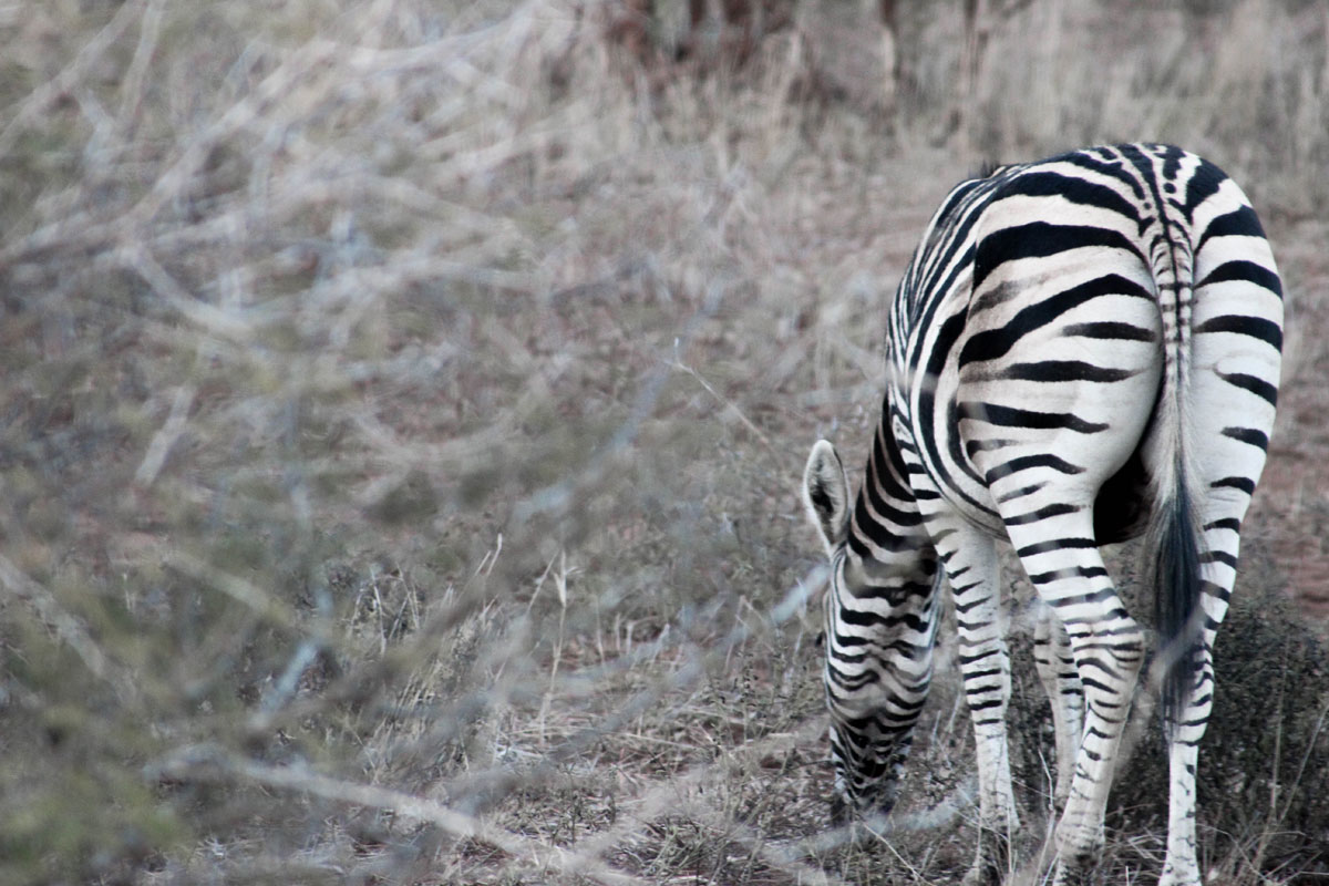 Why_Visit_the_kruger_national_park_in_south_africa_zebra_animals.jpg