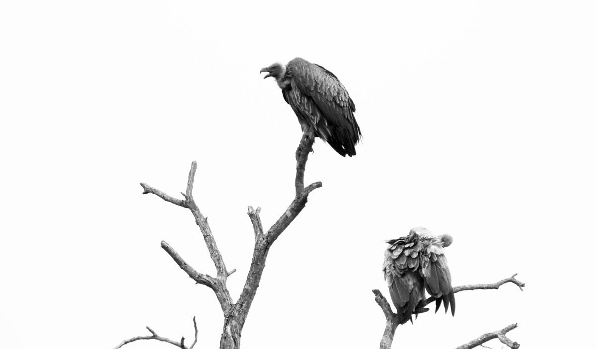 Why_Visit_the_kruger_national_park_in_south_africa_vulture.jpg