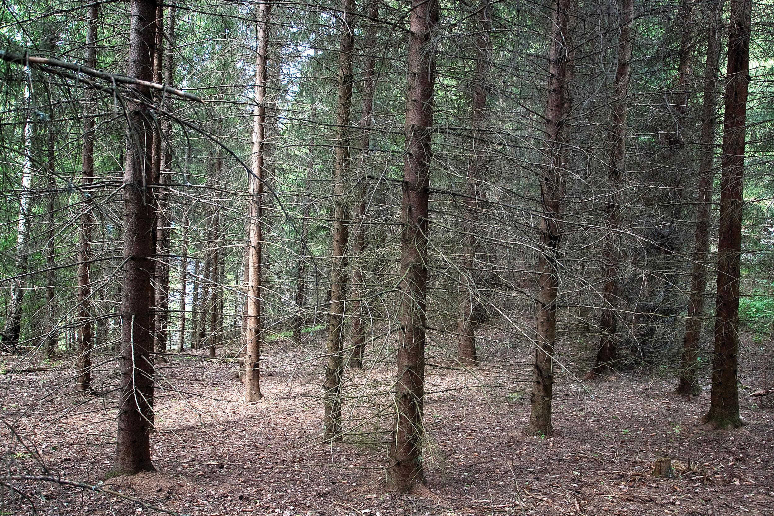 Tette bestand som utnytter markas produksjonsevne godt har bidratt til kraftig økning av stående volum. Nesodden, Akershus. Foto: John Yngvar Larsson, NIBIO