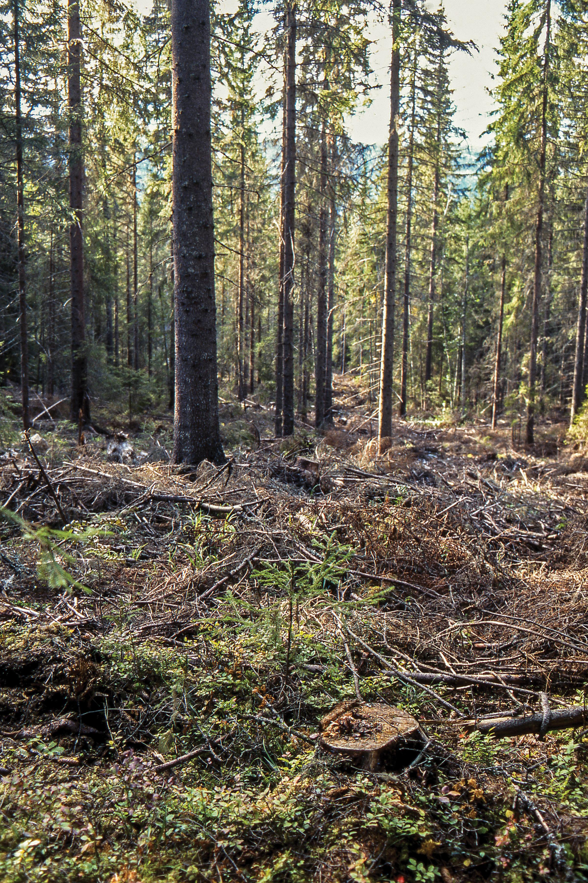 Andelen lukkede hogster utgjorde cirka sju prosent av foryngelsesarealet som ble kontrollert i 2016. Rendalen, Hedmark. Foto: John Yngvar Larsson, NIBIO