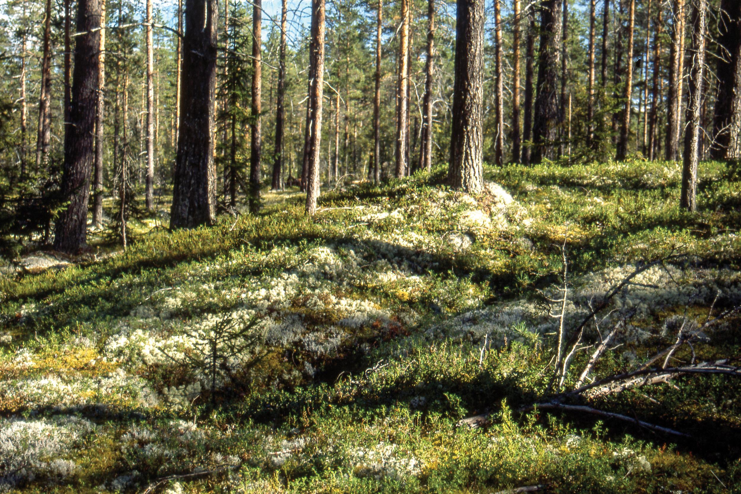 Tjærebrenning var vanlig i norske skoger fra 1000-tallet fram til midt i forrige århundre. Bildet viser en tjæregrøft der tjæren fra mila ble samlet opp. Koppang, Hedmark. Foto: John Yngvar Larsson,NIBIO