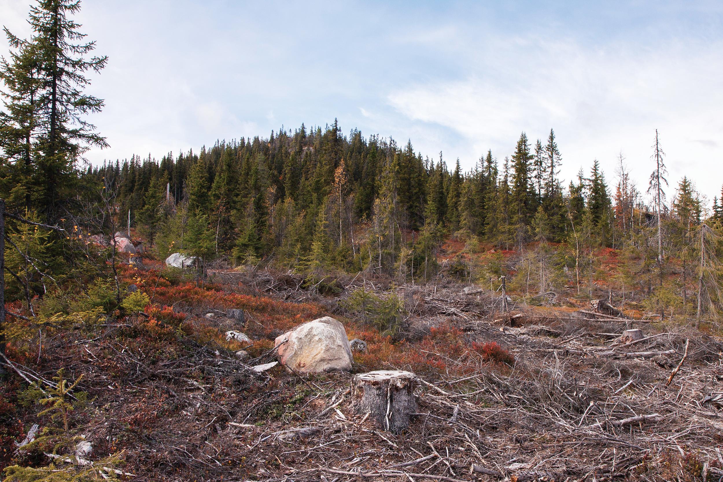Hogst i vernskog kan gjøres ved forsiktig avvirkning, slik det gjøres ved såkalt fjellskoghogst, en kombinasjon av småflatehogst og gjennomhogst. Foto: John Yngvar Larsson, NIBIO