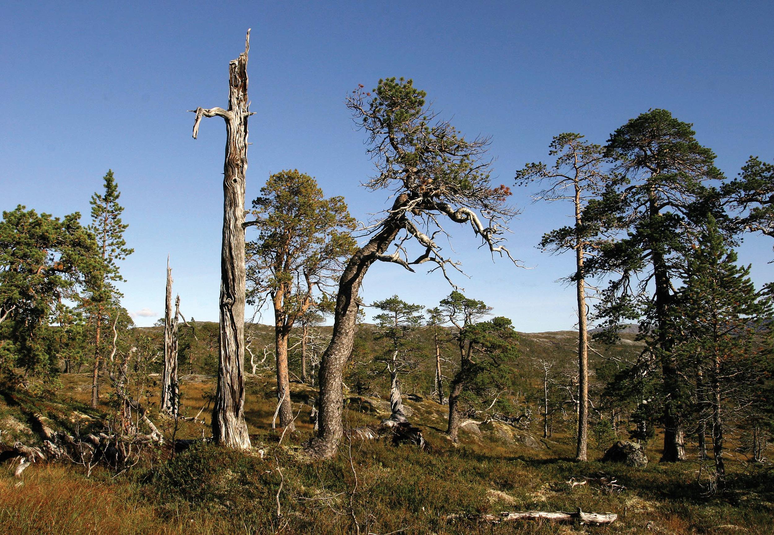 I urskogen finnes ofte mange arter som ellers er sjeldne fordi de er knyttet til selve urskogtilstanden, eksempelvis til gamle eller døde trær. Foto: Per K. Bjørklund, NIBIO