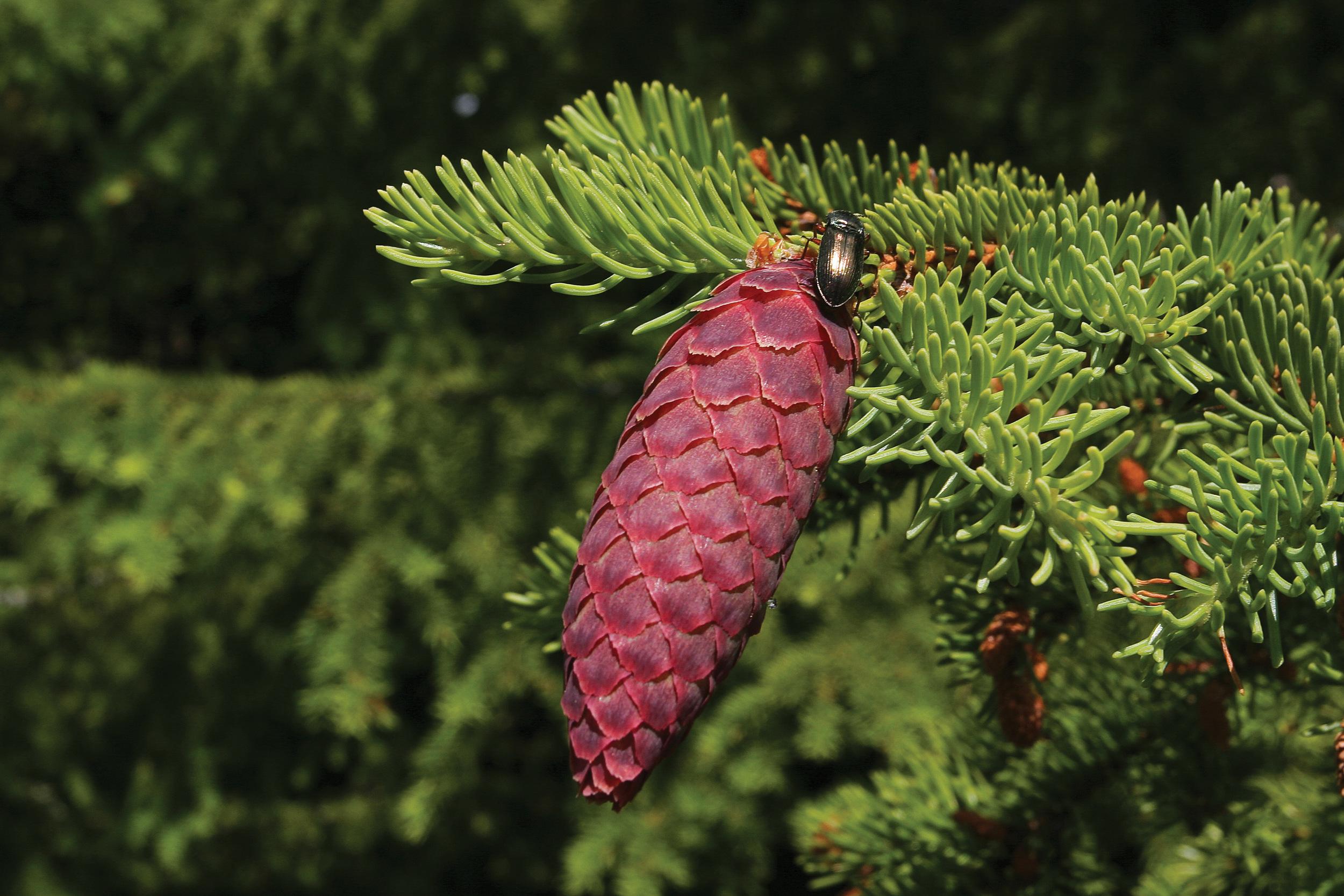Gran ( Picea abies ) er det treslaget som er best karakterisert genetisk, både når det gjelder provenienser, familier og kloner Tidlig i utviklingen, på forsommeren, er grankonglene røde og står rett opp. Etter hvert blir de hengende og til slutt åpner skjellene seg. På etterjulsvinteren slippes frøene. Foto: John Yngvar Larsson, NIBIO