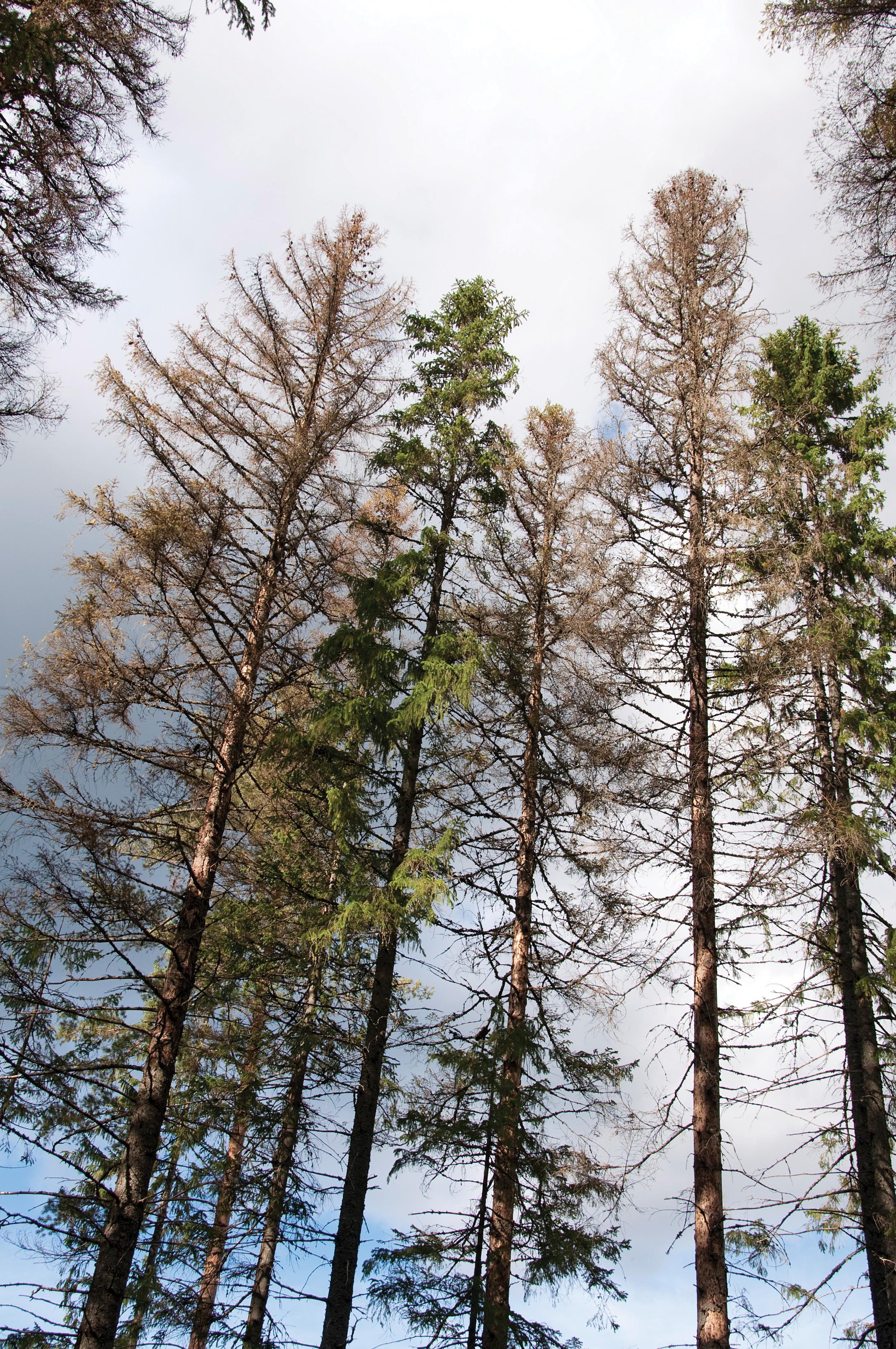 Barkbilledrepte grantrær i Lardal, Vestfold 2011. Foto: Volkmar Timmermann,NIBIO