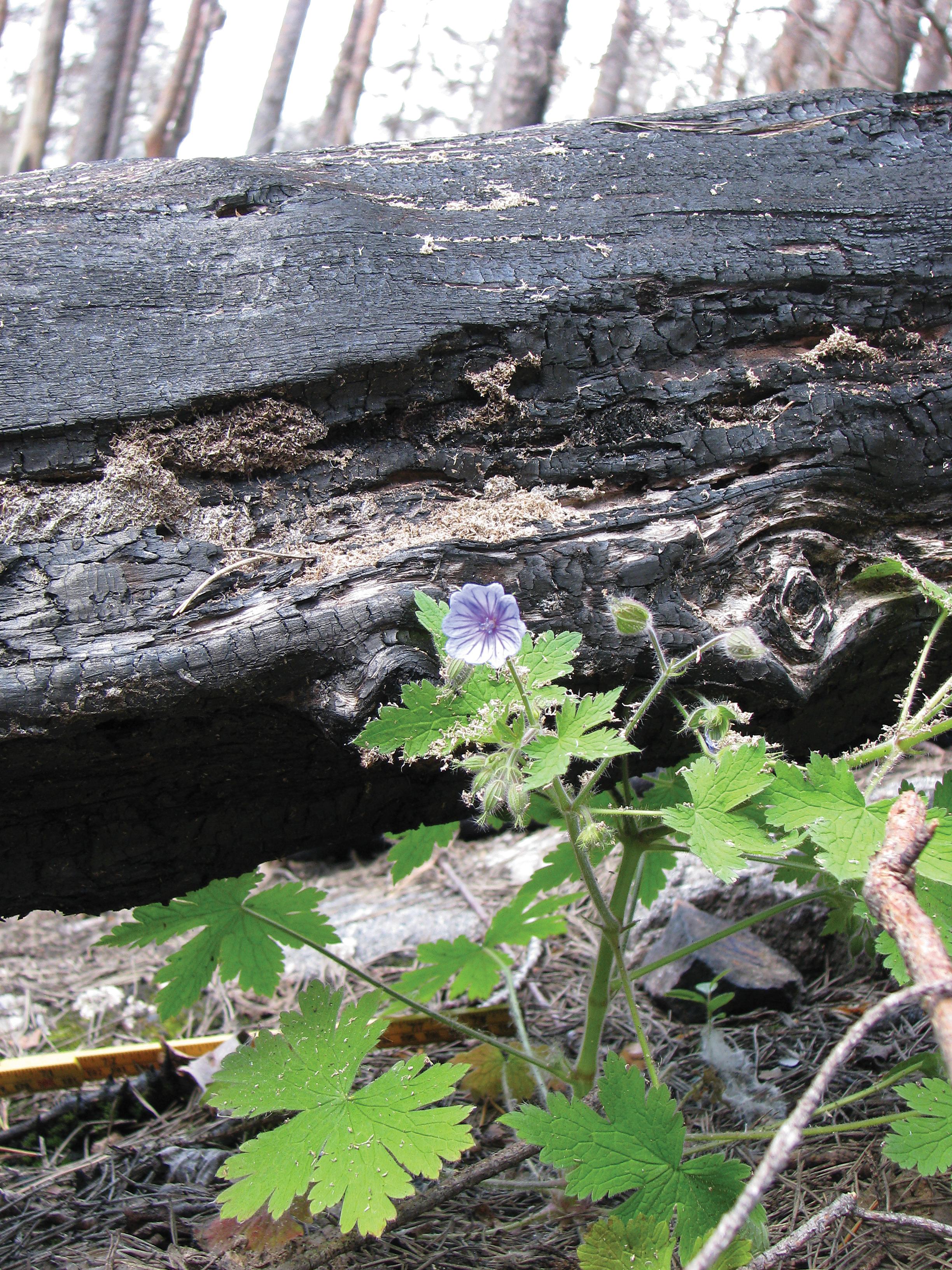 Bråtestorkenebb ( Geranium bohemicum ) på brannflata i Mykland Foto: Per Holm Nygaard,NIBIO