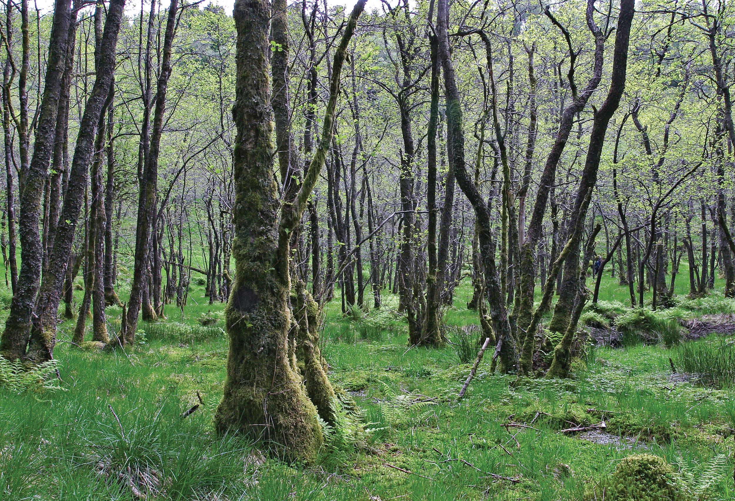 Skogsertifiseringen sørger for at viktige livsmiljøer sikres eller utvikles, blant annet gjennom spesiell behandling av verdifulle biotoper som slike svartorsumpskoger. Lindås, Hordaland. Foto: John Yngvar Larsson, NIBIO
