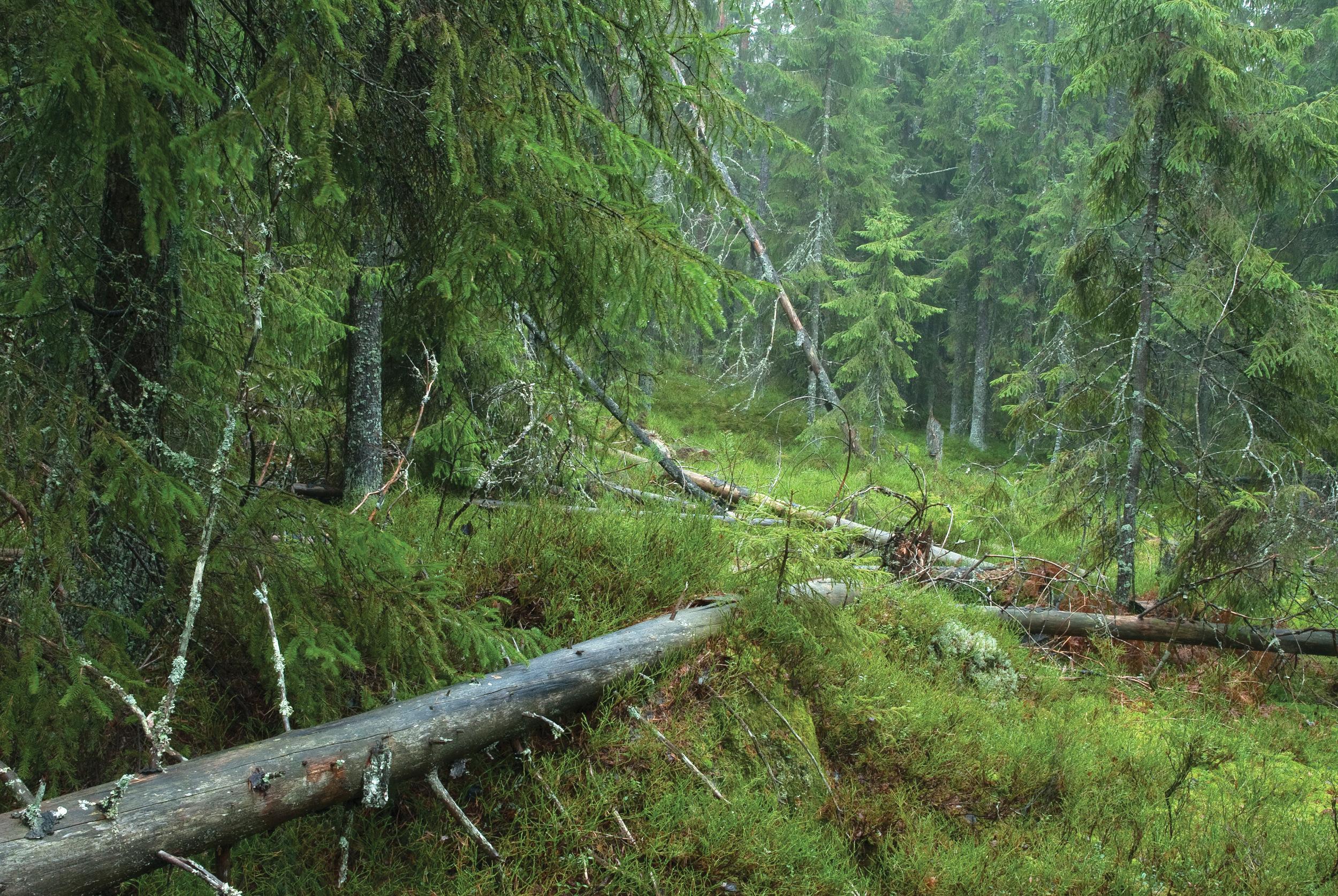 Død ved er et viktig livsmiljø for mange skoglevende arter. Liggende død ved er det vanligst forekommende livsmiljøet. Ås, Akershus. Foto: Dan Aamlid, NIBIO