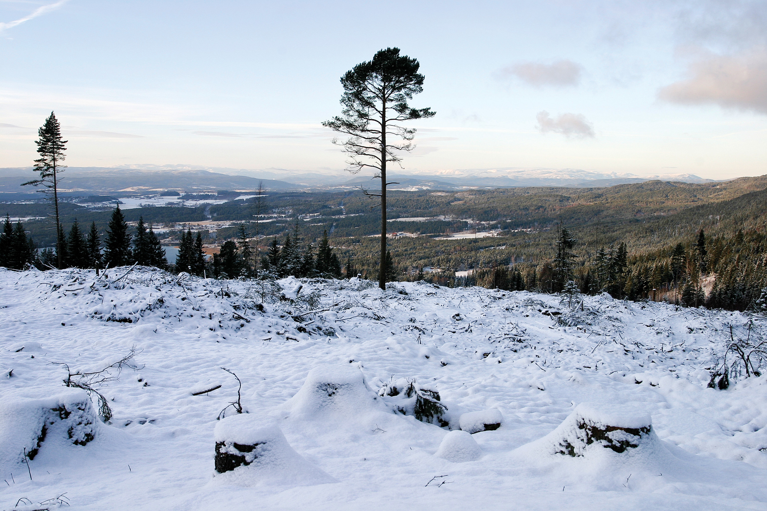 Etter hogst skal det settes igjen minst fem stormsterke livsløpstrær per hektar. Ringerike, Buskerud. Foto: John Yngvar Larsson, NIBIO