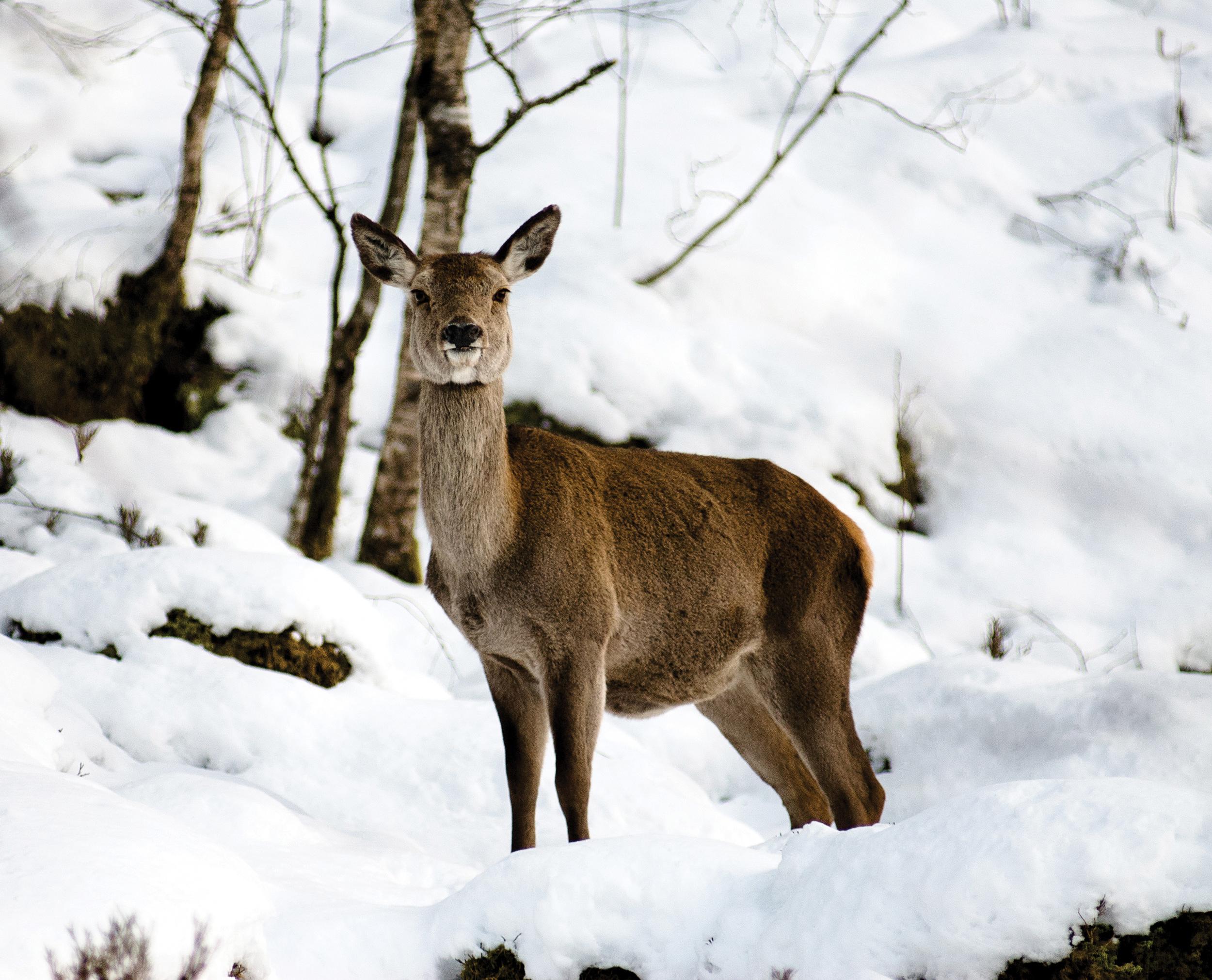 Hjort er et viktig jaktdyr, men gjør også mye skade i skog. Foto: Dan Aamlid, NIBIO