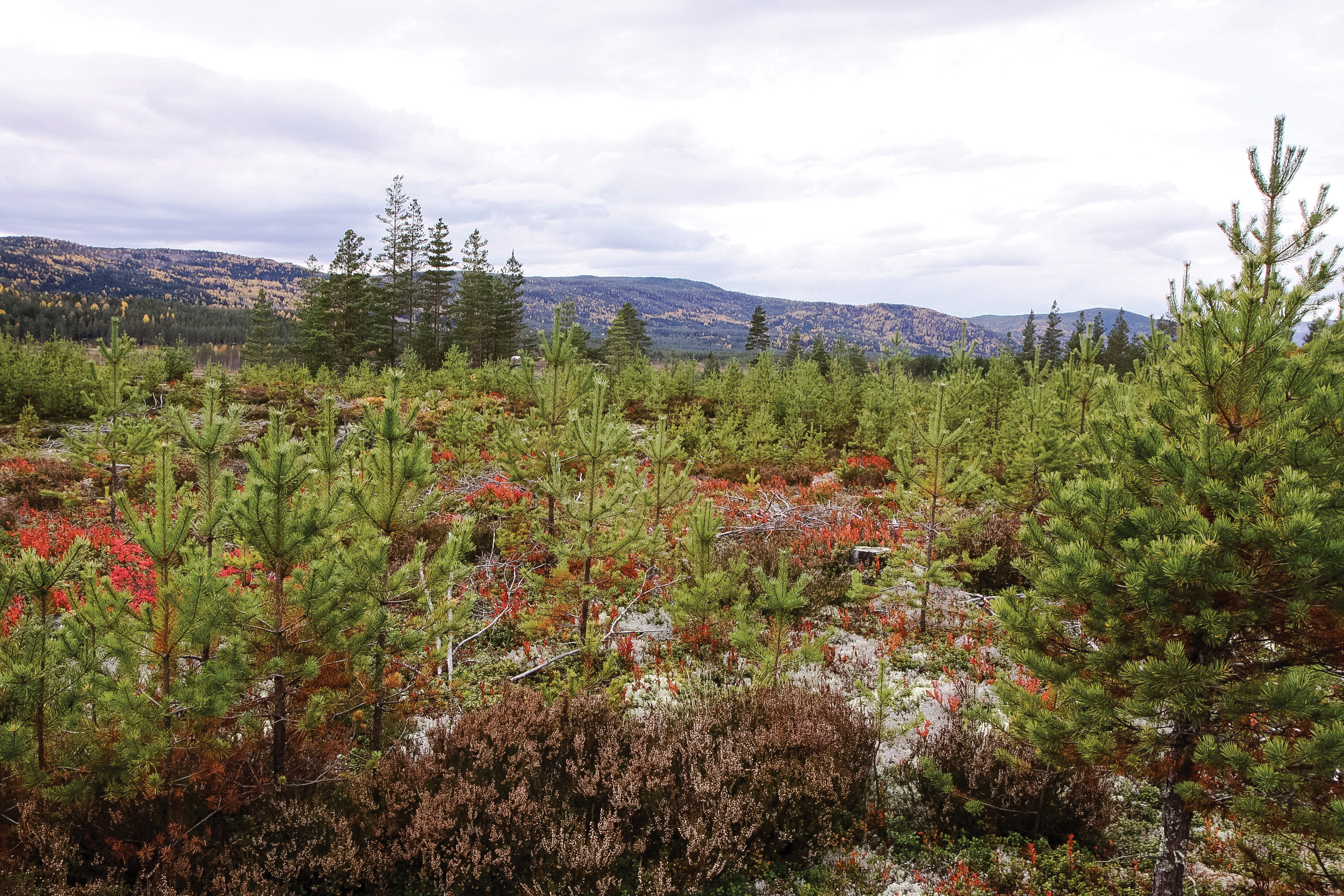 Tilfredsstillende foryngelse etter hogst er en nødvendig del av et langsiktig og bærekraftig skogbruk. Foto: John Yngvar Larsson, NIBIO