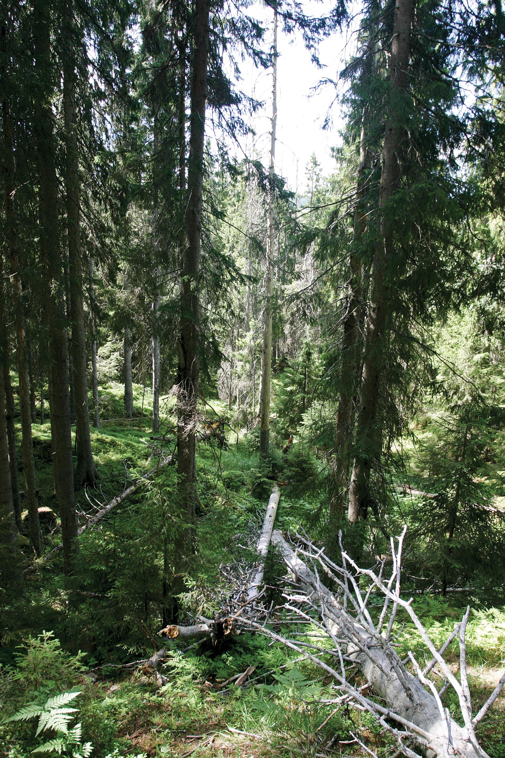 285 000 ha, eller 3,3 prosent av det produktive skogarealet omfattes av vern som naturreservat eller nasjonalpark. Bildet viser læger, liggende dødved i det som het Ormtjernkampen nasjonalpark, som i dag kjennes som Langsua nasjonalpark. Foto: John Yngvar Larsson, NIBIO