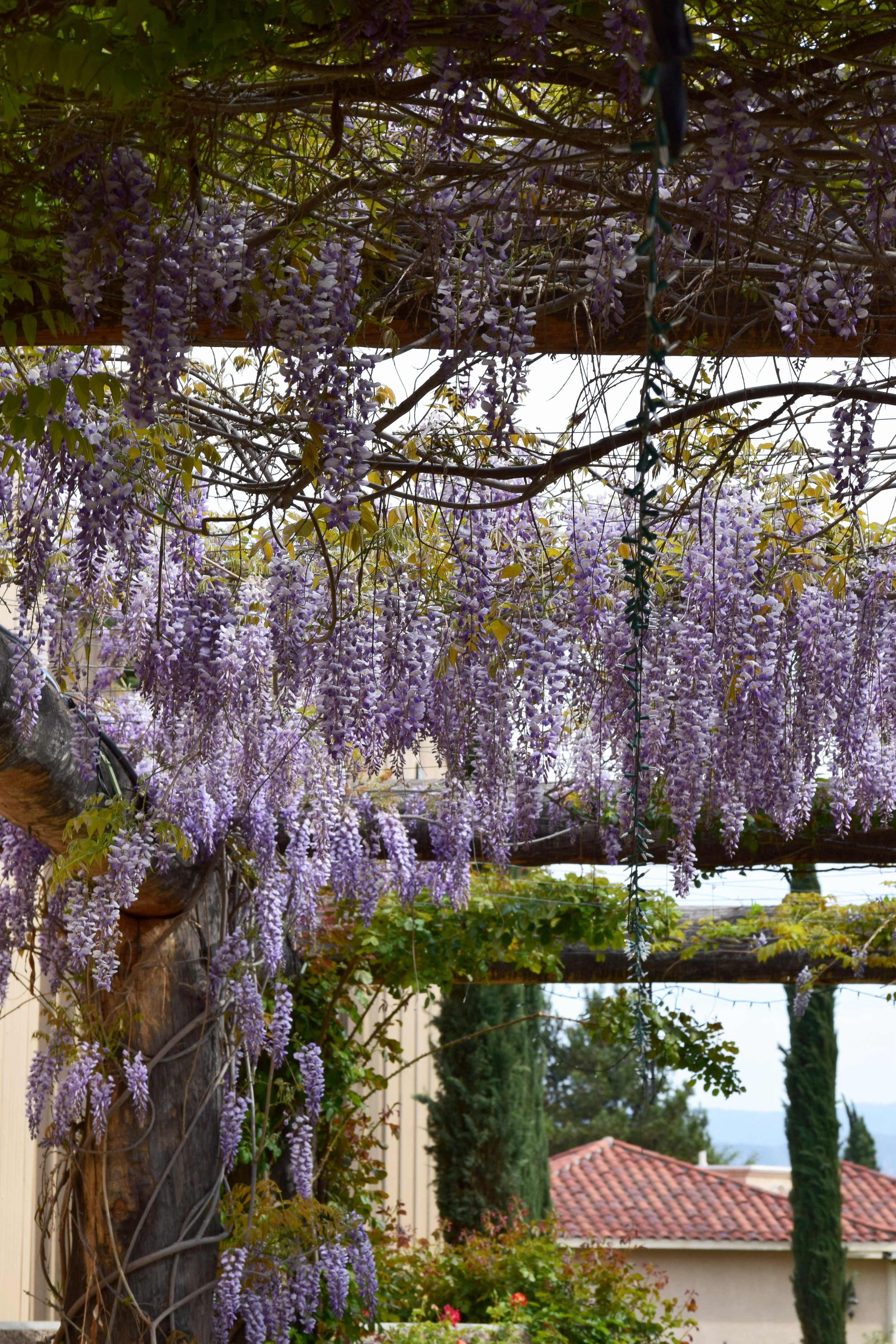 With Love Paper and Wine   South Coast Winery   Wisteria Tree