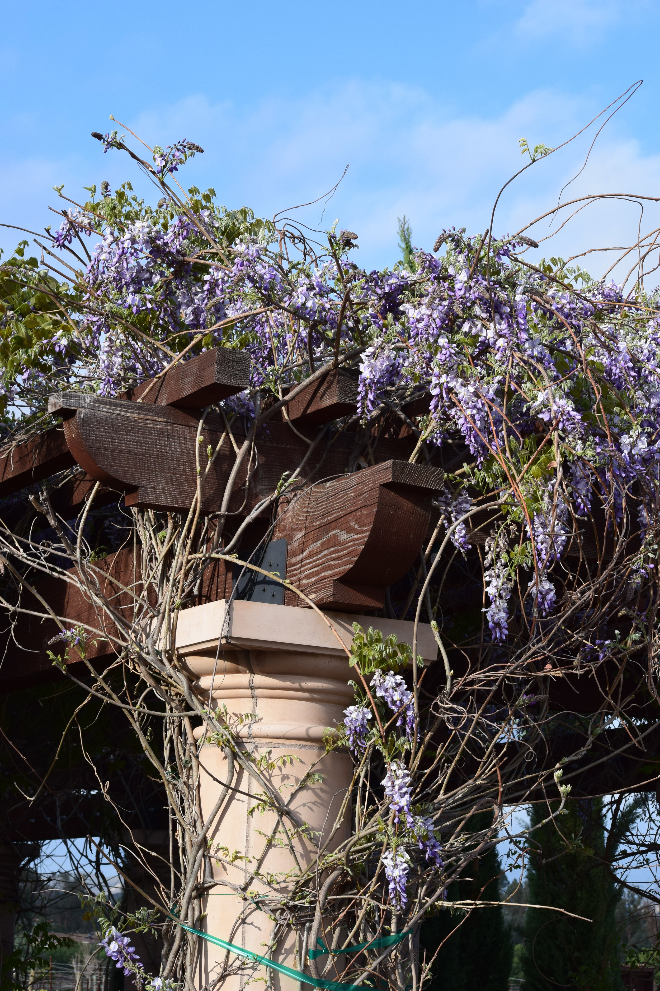 With Love Paper and Wine   Lorimar Winery   Wisteria Tree