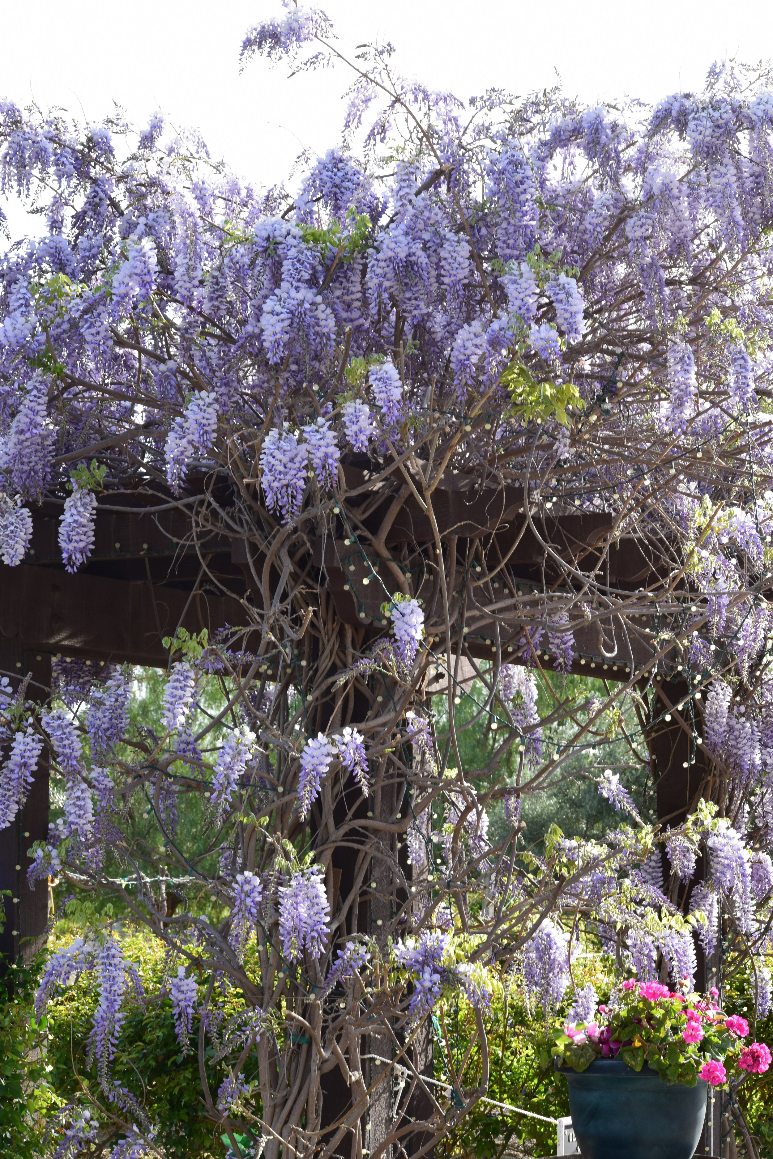 With Love Paper and Wine   Keyways Winery   Wisteria Tree