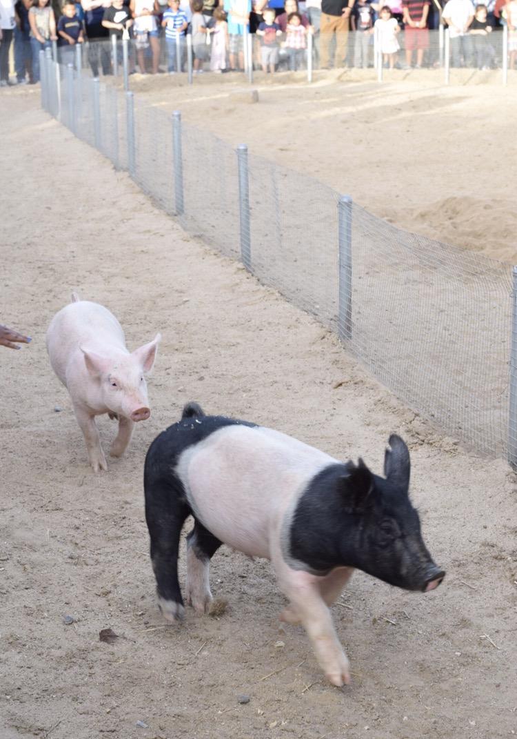 Pig Races at Peltzer Family Pumpkin Farm