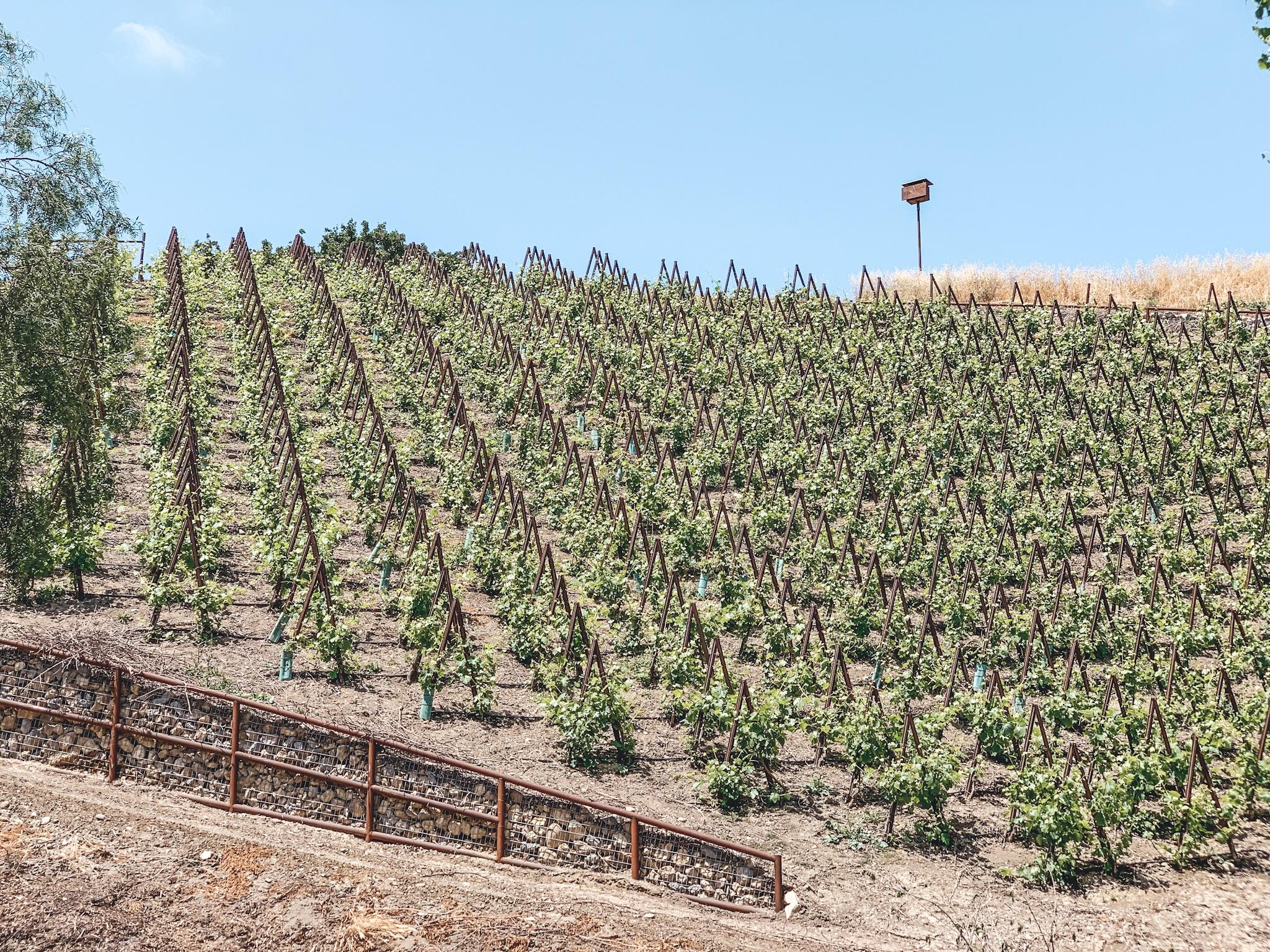 Pence Vineyards    Santa Barbara Wine Country   Erika Beach