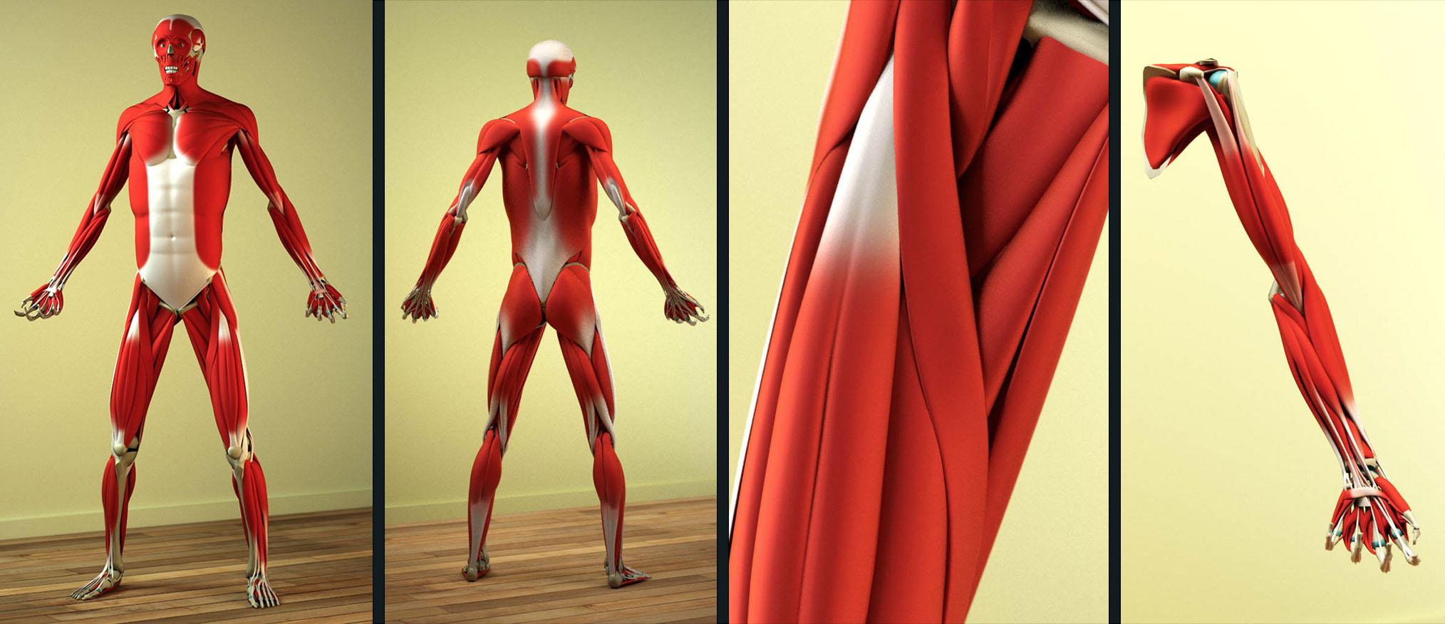 Human anatomy, rendered in Fryrender