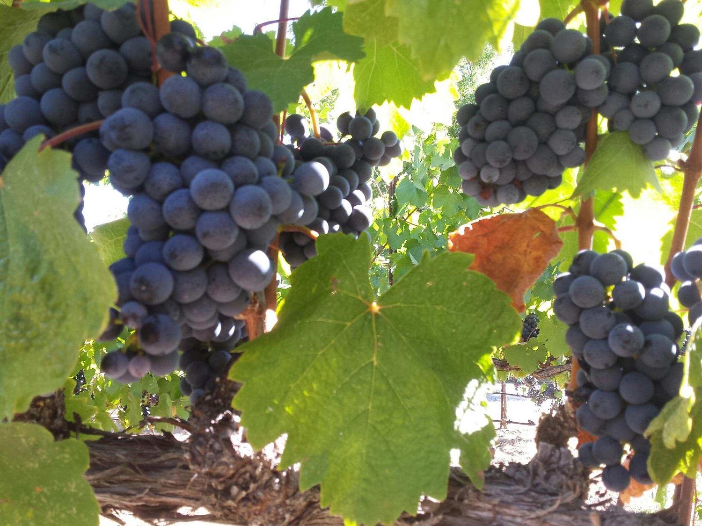 Grapes 1500.jpg