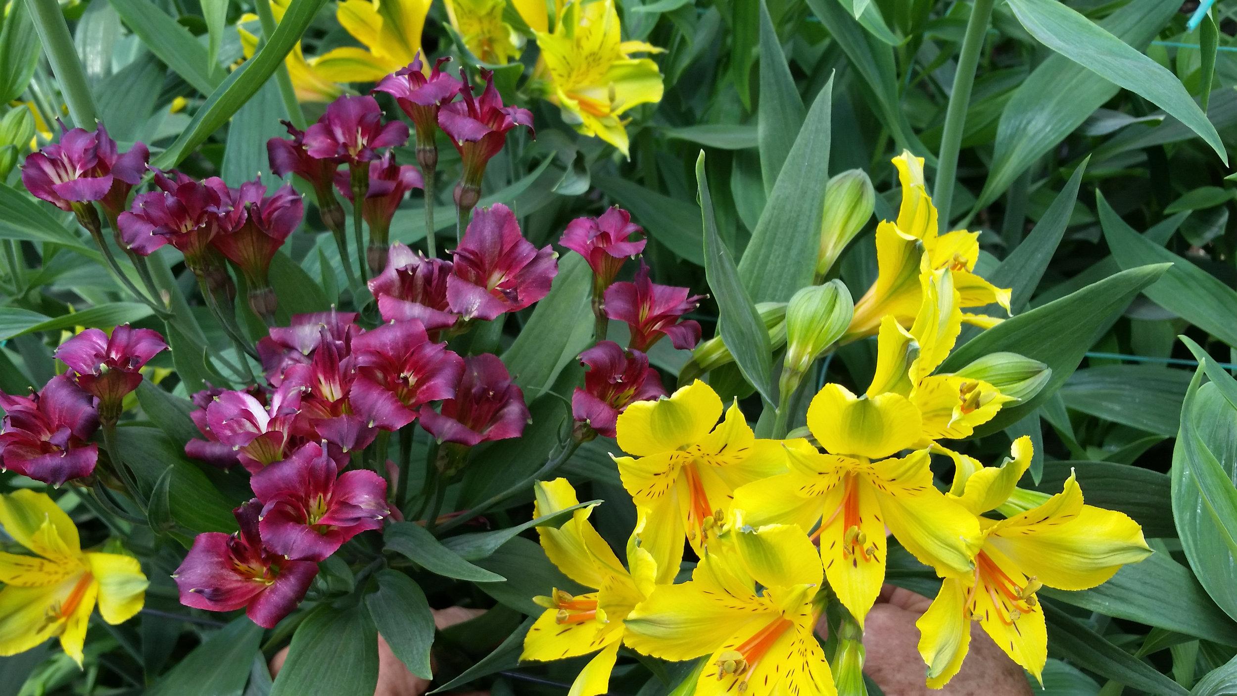 yellow_purple.jpg