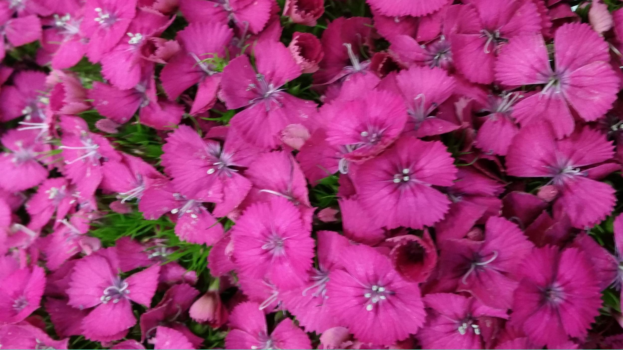 purplish_pink.jpg