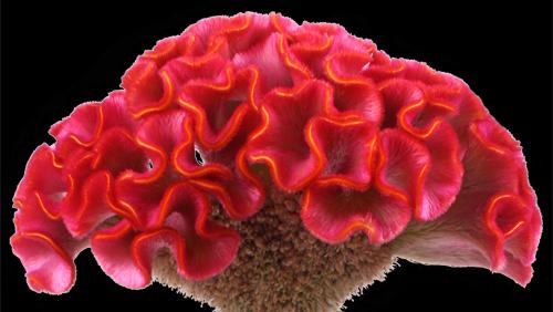 Celosia Red.jpg