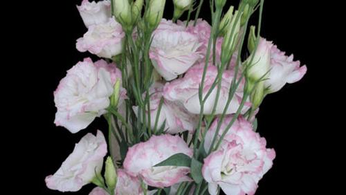white_pink.jpg