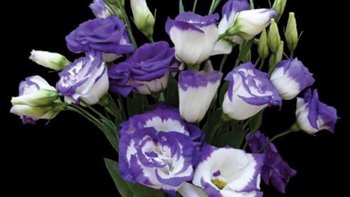 white_purple.jpg