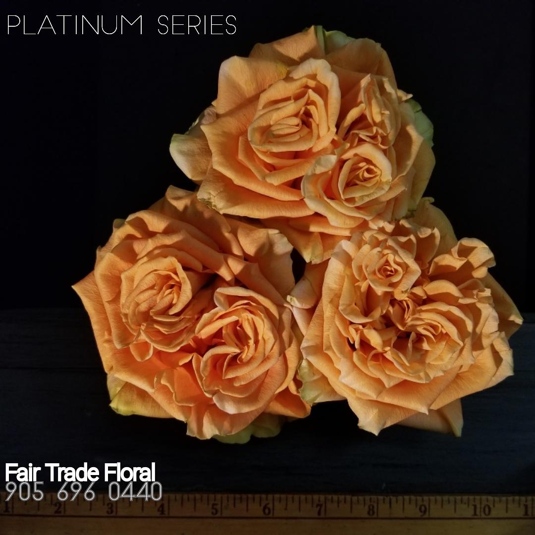 Garden Roses (21).jpg