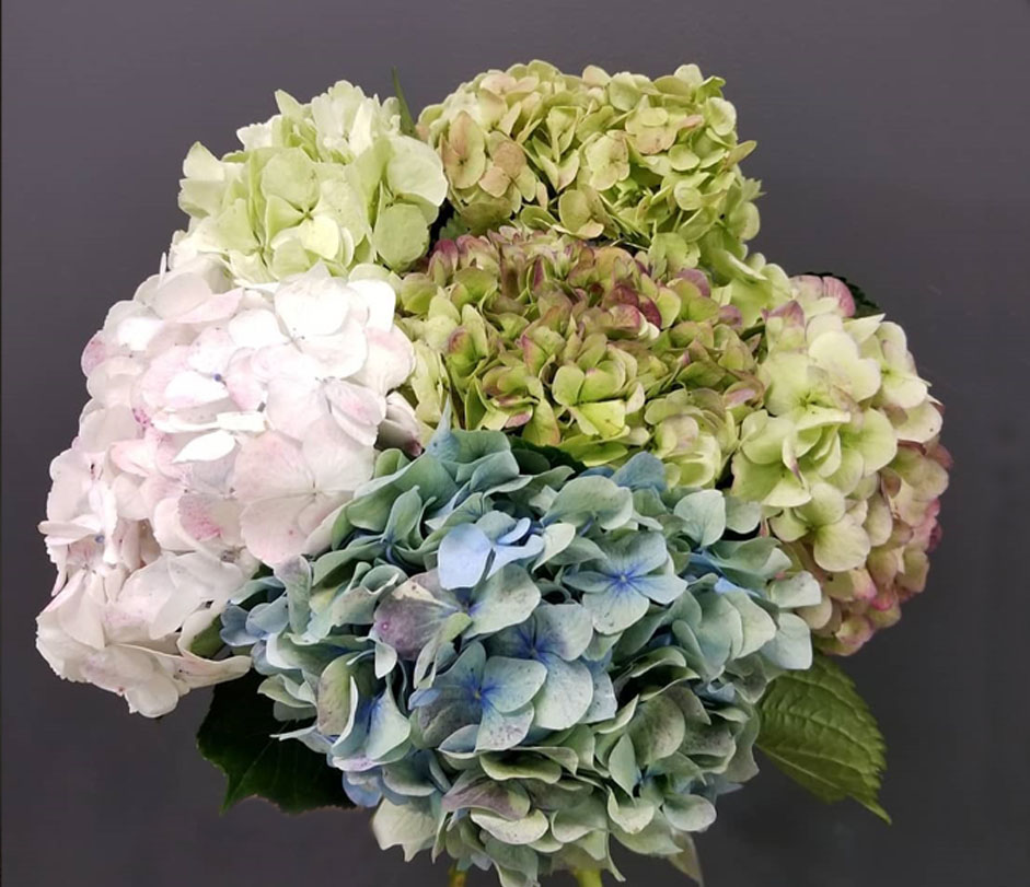 Hydrangea - Just dream of your desire color